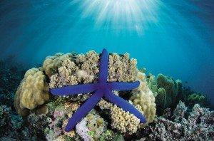 Blue_Sea_Star
