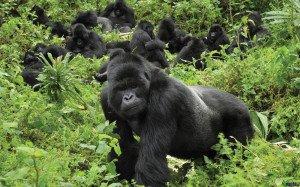 Parque--Gorillas