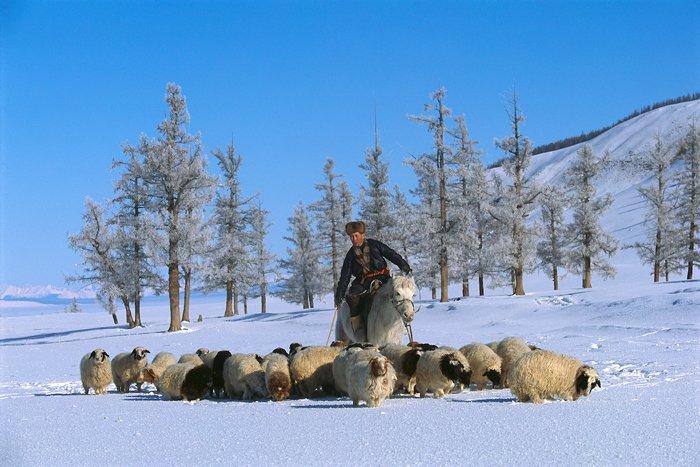 Un pastor a caballo vigila sus ovejas en la depresión Darkhad. La temperatura es de 40 grados bajo cero y la nieve llega hasta la barriga de las ovejas, lo que dificulta el pastoreo.