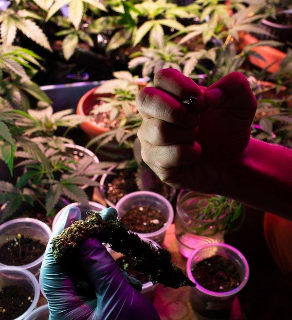 Salud--Marihuana--1